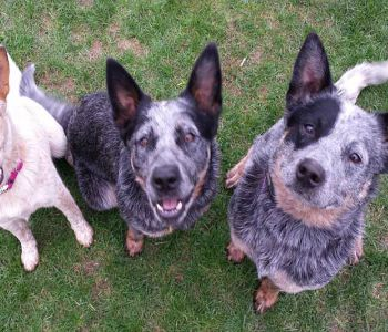 Ohio Cattle Dog Rescue Team