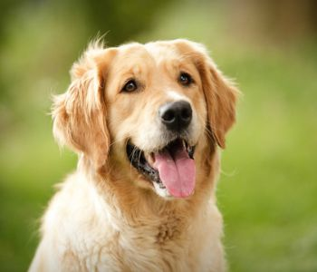 Gulf South Golden Retriever Rescue Inc