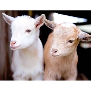 Puget Sound Goat Rescue