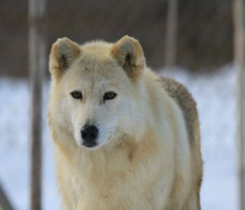Wolf Sanctuary of PA Inc