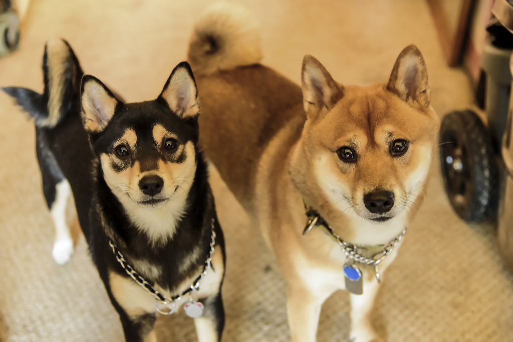 Shiba Inu Husky Mix Shop For Your Cause