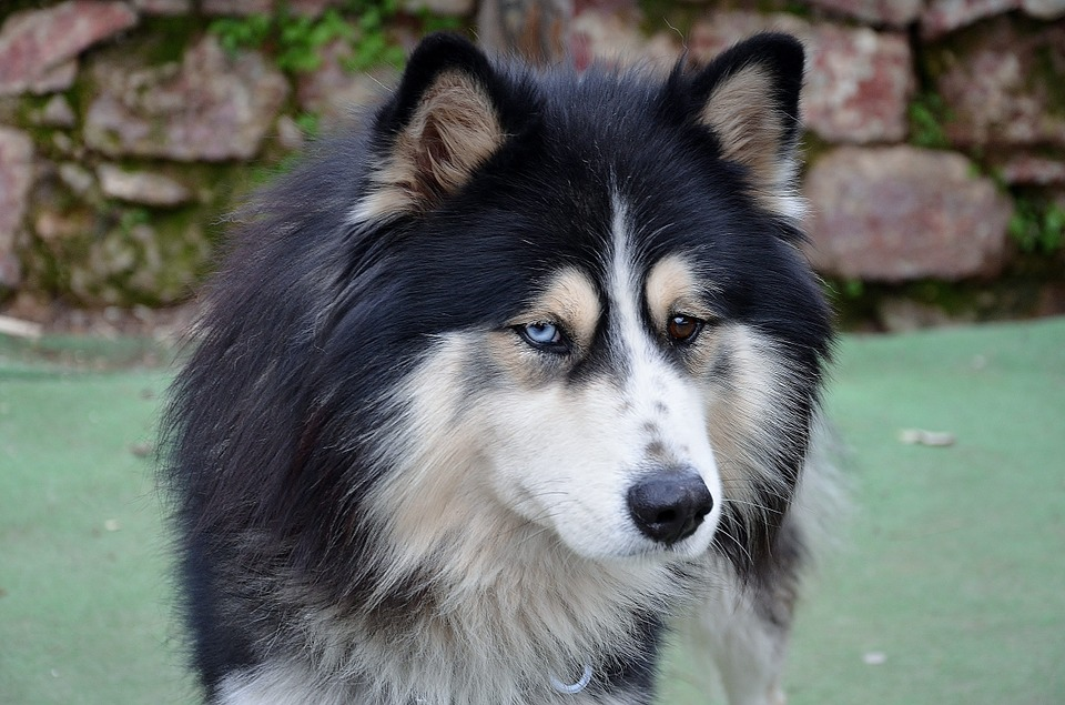 Husky Shepherd Dog Breed