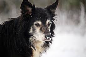 Border Collie Husky Mix Shop For Your Cause
