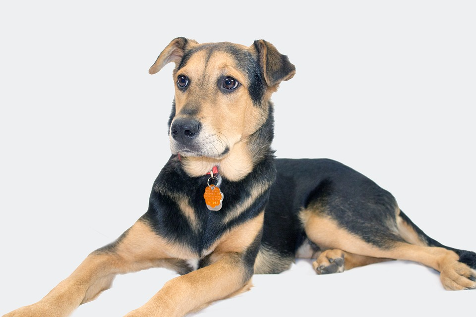German Shepherd Rottweiler Mix Shop For Your Cause