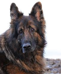 German Shepherd Border Collie Mix Shop For Your Cause