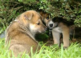 German Shepherd Husky Mix | Shop for your Cause