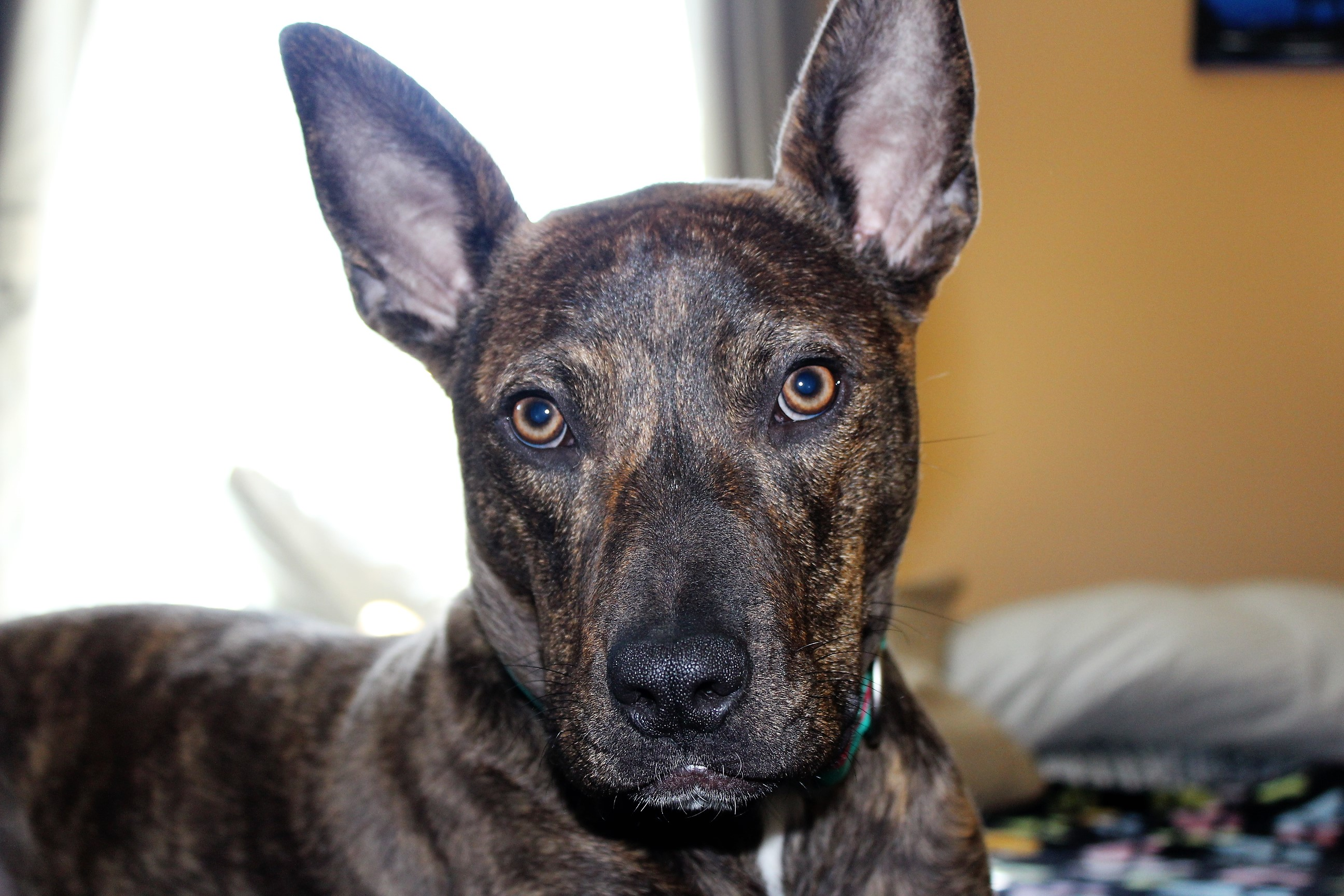 german shepherd pitbull mix shop for your cause