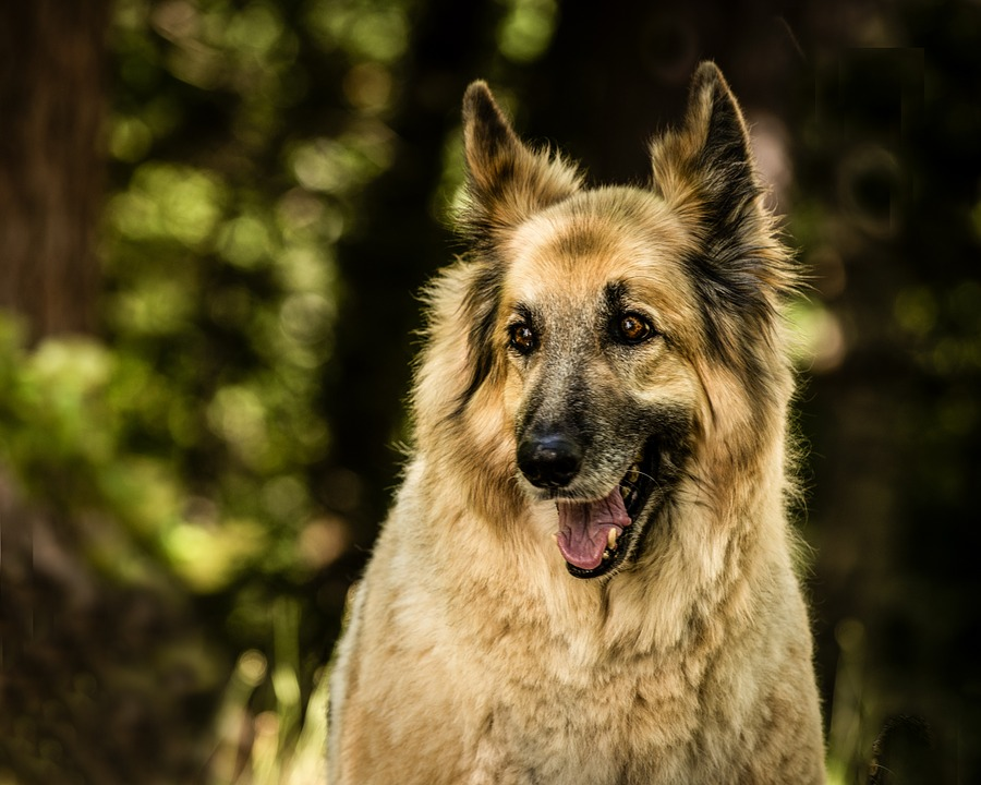 German Shepherd Irish Wolfhound Mix | Shop for your Cause