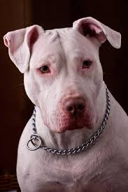 Pitbull Husky Mix | Shop for your Cause