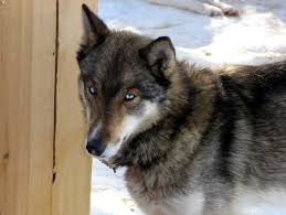 Husky Wolf Mix Shop For Your Cause