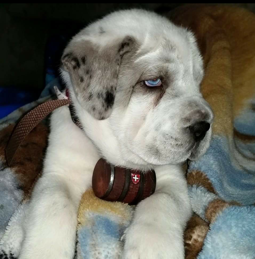 Saint Bernard Husky Mix