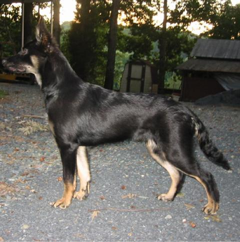 German Shepherd Doberman Mix