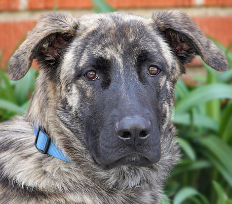 German Shepherd Great Dane Mix