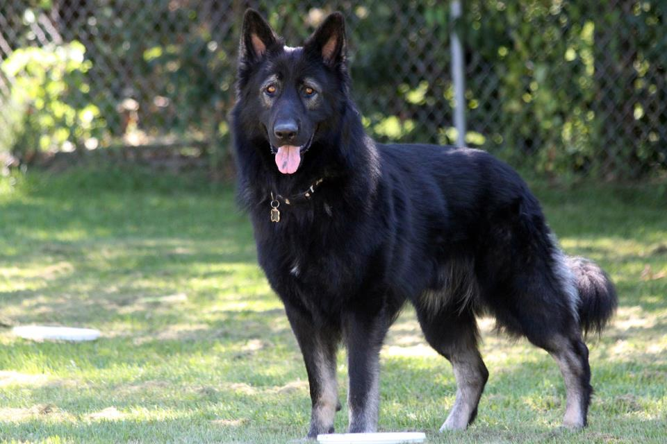German Shepherd Newfoundland Mix