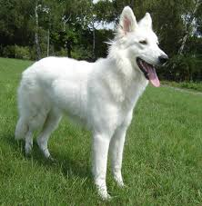 Pure White German Shepherd