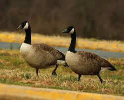 "Petition to Stop Plan to Gas Geese to Death for being ""Nuisances"""