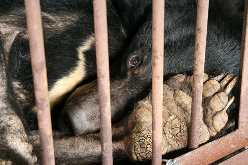 Petition to ban the production of Bear Bile