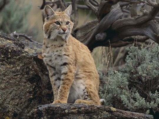 Petition to stop the Illinois Bobcat Hunt
