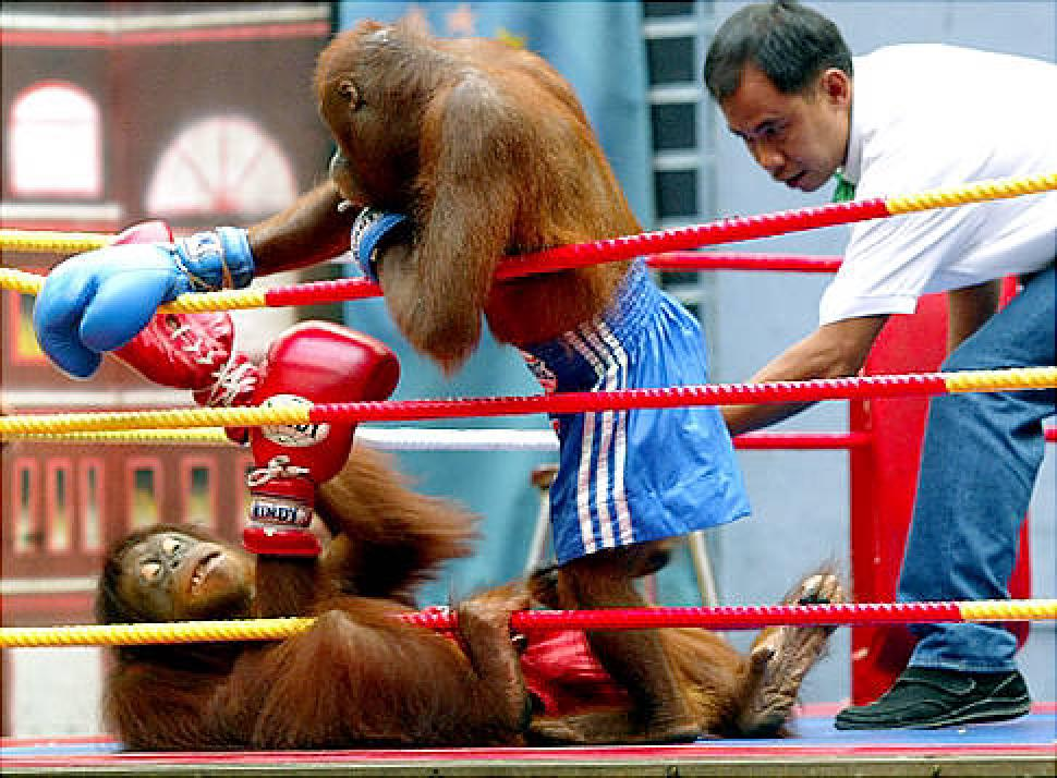 Ban Orangutan Boxing for Entertainment