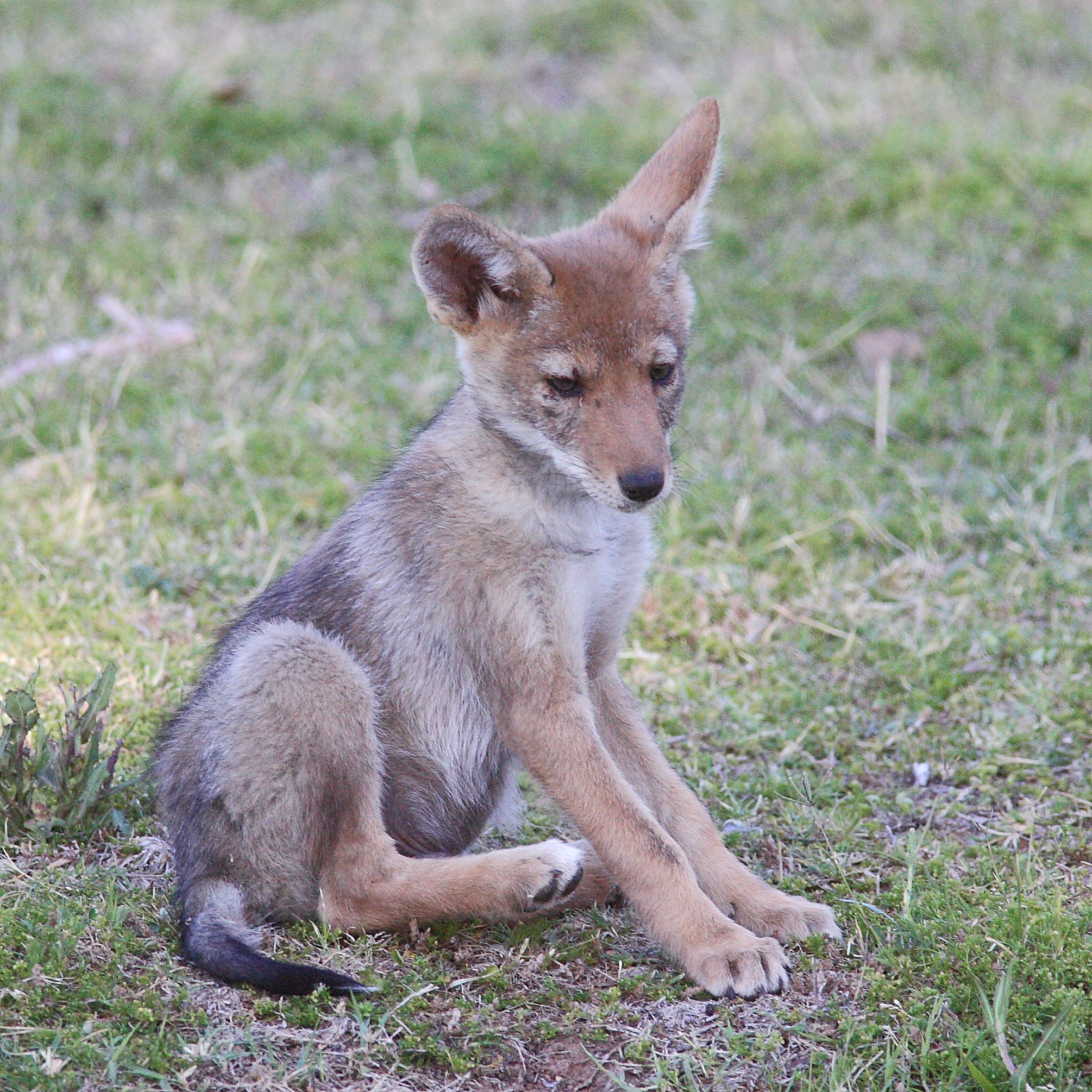 Petition to help stop coyote killing contests in MN