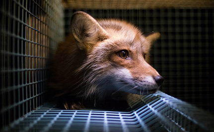 Petition to Ban Fur Farms in the United States