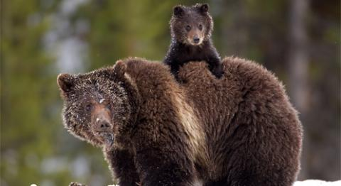 Petition to Keep Grizzly Bears on the Threatened List