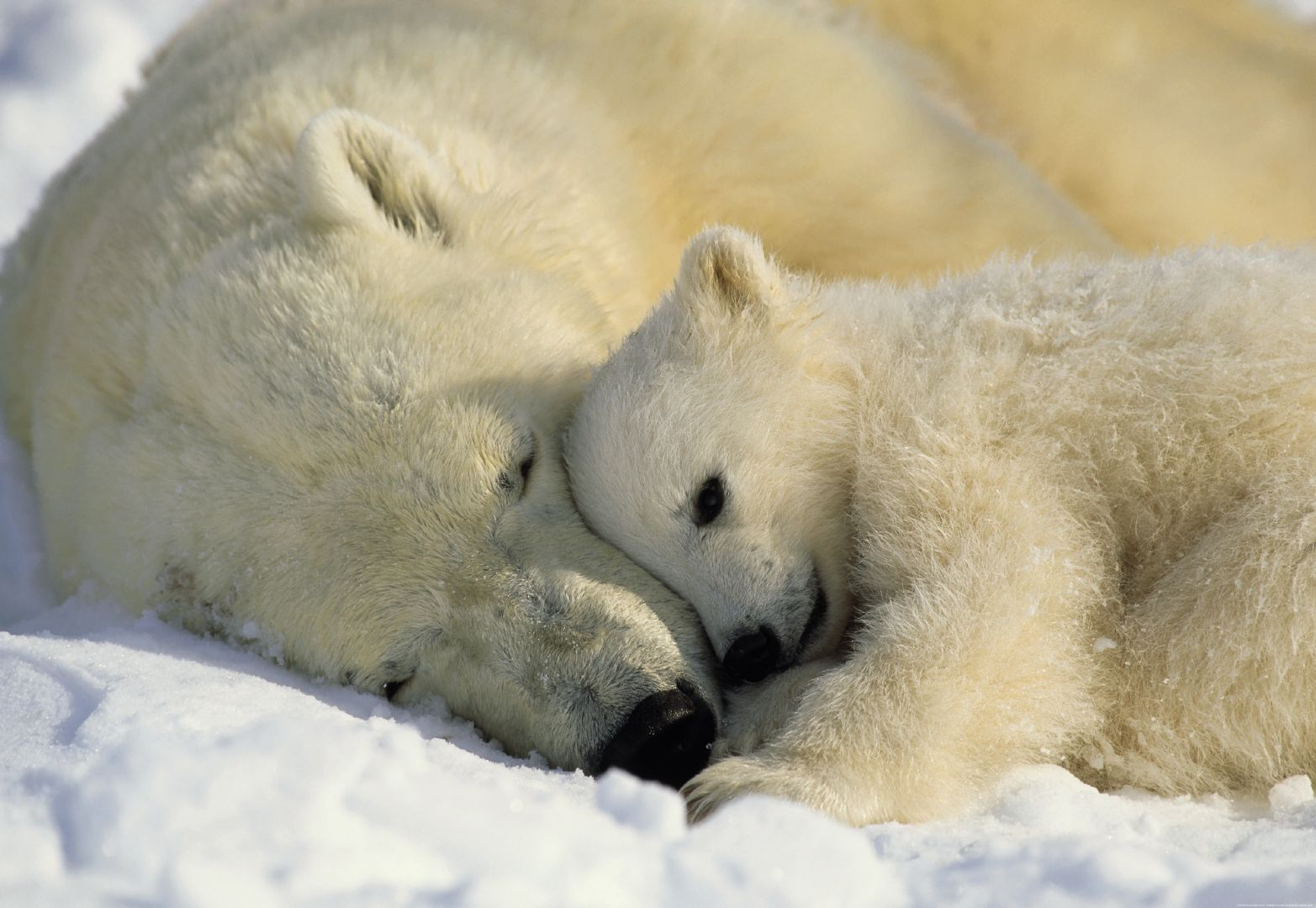 Petition to Make Polar Bear Hunting Illegal in Canada