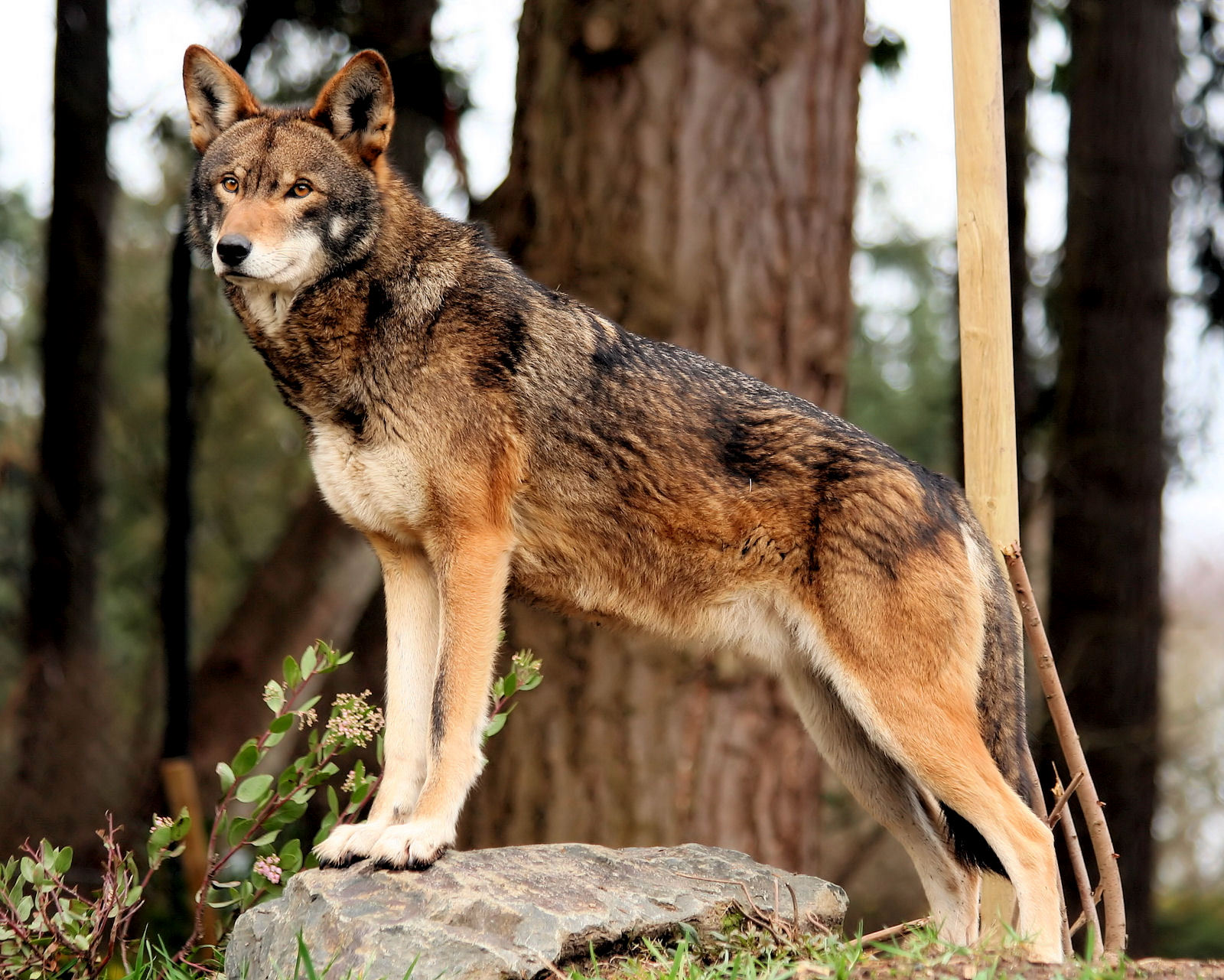 Petition to help save the red wolves