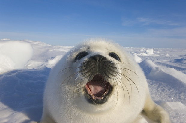 End Canadian Seal Hunt