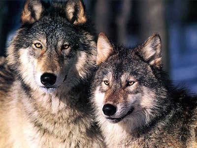 Wolf Petition