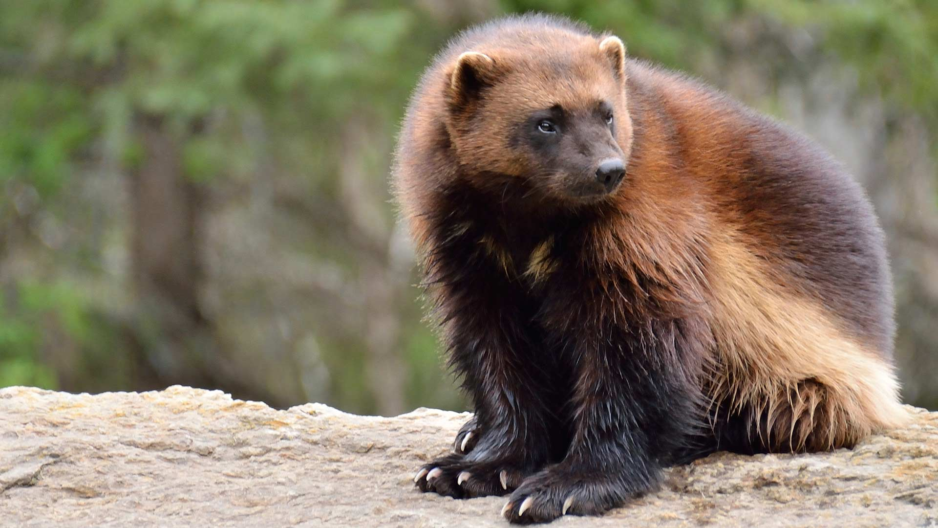 Petition to help protect Wolverines